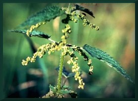 Pic_herb-nettle2
