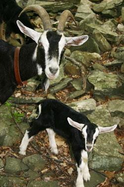 Pix-goats2010-2