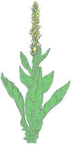 Gif-herb-mullen-cityherbal1