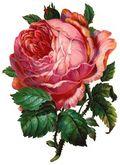 Free-vintage-pink-cabbage-rose-clip-art