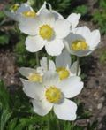 1003349_anemone_-_wind_flower