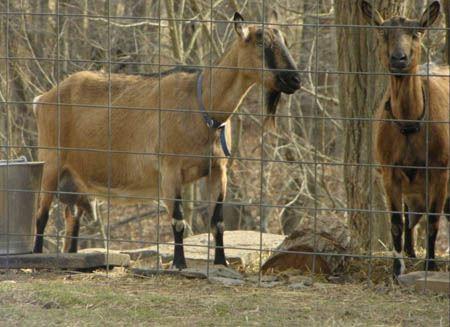 May 17 goats