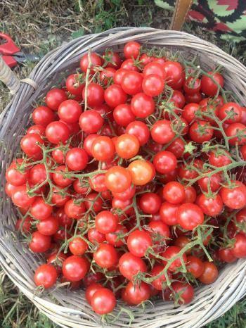 Cherrytomatoes2
