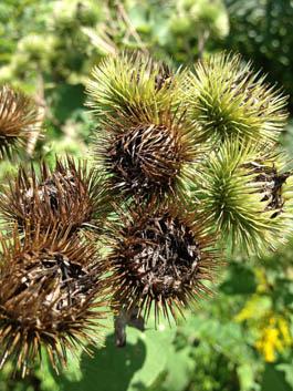 Burdock-Seed