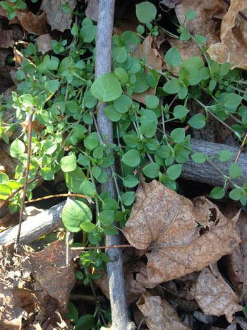 Chickweed-dec22-15
