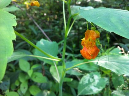 Jewelweedflower-recipe