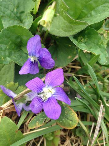 Violets-2